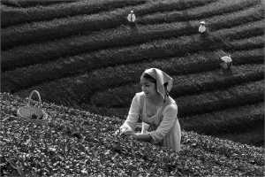 APU Honor Mention e-certificate - Ducte Le (USA)  B1- Tea Harvesting