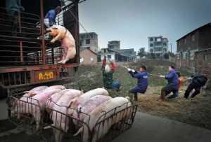 APAS Gold Medal - Jingsheng Nie (China)  Hanging Pig