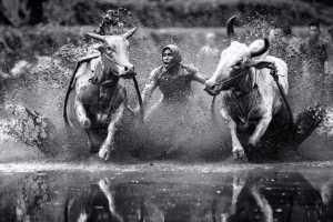 PhotoVivo Gold Medal - Chan Ieong Tam (Macau)  Bull Race1