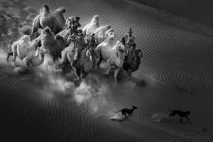 PhotoVivo Gold Medal - Xiping An (China)  Camel Dog1