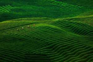 ICPE Gold Medal - Weimin Hu (China)  Tea Garden