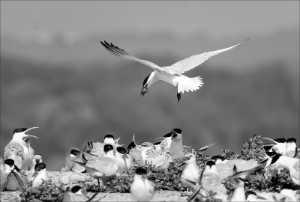 FIP Ribbon - Phillip Kwan (Canada)  Tern Feeding 41
