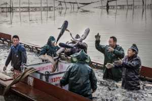 ICPE Gold Medal - Yangcai Yang (China)  Fish Harvest