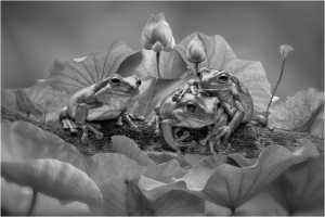 PhotoVivo Honor Mention e-certificate - Lee Eng Tan (Singapore)  Three Frogs On The Branch