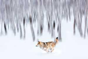 APAS Gold Medal - Yiping Wang (China)  Wolf Coming