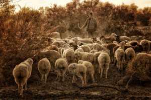 ICPE Honor Mention e-certificate - Pui-Chung Yee (Singapore)  Korla Sheep Herd 2