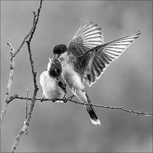 PhotoVivo Gold Medal - Phillip Kwan (Canada)  King Bird Feeding 23