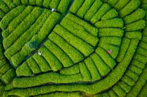 ICPE Gold Medal - Haojiang Huang (China)  Tea Field 5