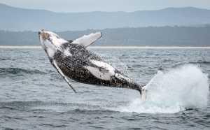 APAS Honor Mention e-certificate - Graeme Watson (Australia)  Breaching Whale 1