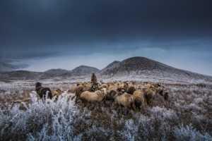 Circuit Merit Award e-certificate - Hongwei Zhong (China)  Sheep Herding