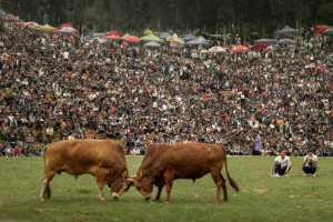 PhotoVivo Gold Medal - Chengguo Ai (China)  Bullfight