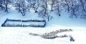 PhotoVivo Gold Medal - Changyu Tong (China)  Cattle And Sheep In A Circle