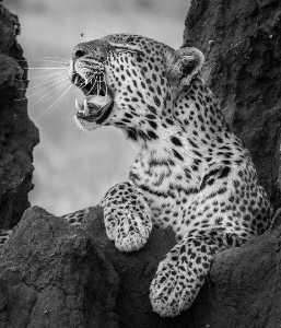 ICPE Honor Mention e-certificate - Sathyanarayana C.R. (India)  Leopard Resting