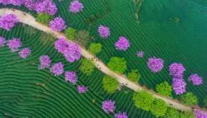 PhotoVivo Gold Medal - Jingsheng Nie (China)  Cherry Blossoms