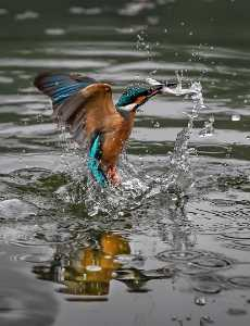 ICPE Honor Mention e-certificate - Robin Luo (Canada)  Kingfisher Caught Fish