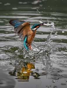 Circuit Merit Award e-certificate - Robin Luo (Canada)  Kingfisher Caught Fish