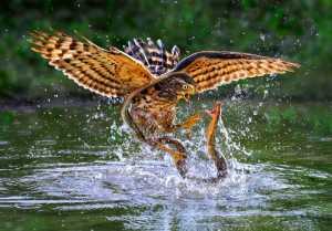 PSA Gold Medal - Yuk Fung Garius Hung (Hong Kong)  Eagle Versus Snake