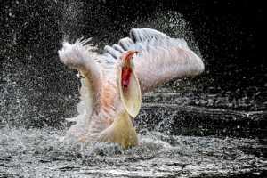 Honor Mention - Holger Buecker (Germany)  Wide Open Beak
