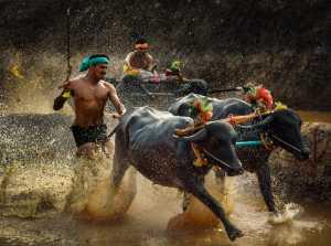 ICPE Honor Mention e-certificate - Jinesh Prasad (India)  Hokkadigoli Bull Race
