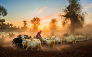 PhotoVivo Gold Medal - Jianhui Liao (China)  Sunset Pastoral Song