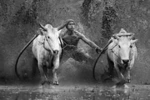 APAS Honor Mention e-certificate - Venisiana Dharmayanthi (Indonesia)  Sumatra Cow Race
