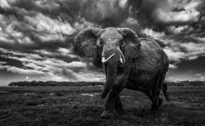Circuit Merit Award e-certificate - Jianhui Liao (China)  African Elephant