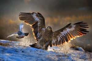 ICPE Gold Medal - Wong Voon Wah (Hong Kong)  Golden Eagle Hunting Pigeon