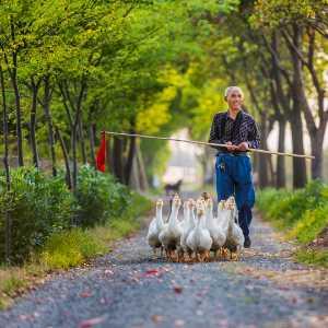 Circuit Merit Award e-certificate - Jing Chen (China)  Chasing Ducks