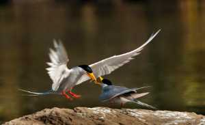 PhotoVivo Gold Medal - Gangadhar Ag (India)  River Tern Feeding Female