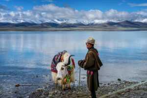 PhotoVivo Gold Medal - Lamei Wang (China)  Wrangler And Yak