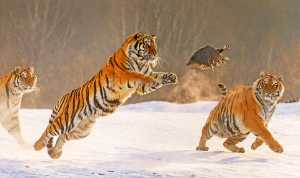 APAS Honor Mention e-certificate - Runying Sun (China)  Pounce On A Tiger