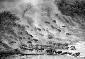 APAS Gold Medal - Ka Yi Winnie Tse (Hong Kong)  Wildebeest Crossing