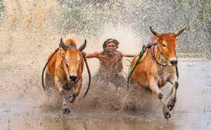 PhotoVivo Gold Medal - Jun Zhao (China)  Paddy Bulls
