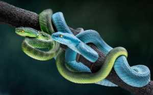 APU Gold Medal - Chin Leong Teo (Japan)  Blue And Green Viper 1