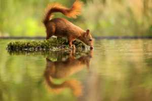 PhotoVivo Gold Medal - Wolfgang Schweden (Germany)  Squirrel With Reflection 1