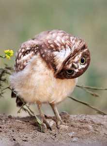 APU Honor Mention E-Certificate - Godfrey Wong (USA)  Cutie Burrowing Owl
