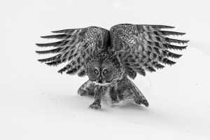 PhotoVivo Gold Medal - Phillip Kwan (Canada)  Great Gray Owl 82