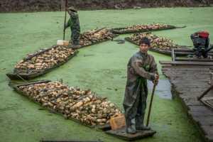 PhotoVivo Gold Medal - Wenlin Pan (China)  Lotus Root Digger