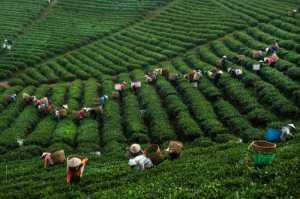 PhotoVivo Gold Medal - Thach Hoang Ngoc (Vietnam)  Tea Picking No.2