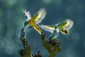 APAS Gold Medal - Ajar Setiadi (Indonesia)  Duo Mantenan Bird