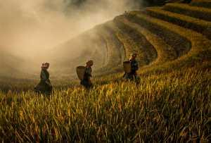 RPST Gold Medal - Dao Tien Dat (Vietnam)  Ripe Paddy Season In Tay Bac Terraces No 1