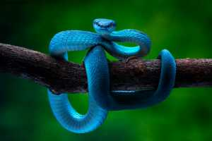 APU Honor Mention e-certificate - Hein Htet (Singapore)  Blue Pit Viper