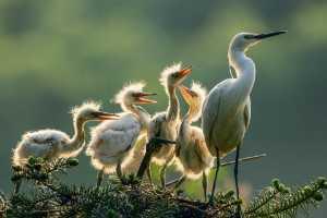 APAS Gold Medal - Kunping Chen (China)  Egret-Stop Quarreling