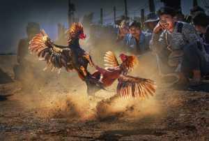 APAS Gold Medal - Arnaldo Paulo Che (Hong Kong)  Cock Fight 2