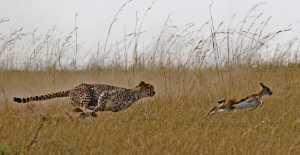 APU Gold Medal - Wolfgang Kaeding (Germany)  Cheetah Hunting Gazelle