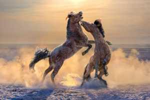 ICPE Honor Mention e-certificate - Arnaldo Paulo Che (Hong Kong)  Horse Fight 1