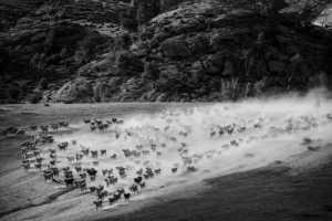 PhotoVivo Gold Medal - Bo Zhu (China)  Herd