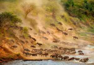 APU Honor Mention e-certificate - Ka Yi Winnie Tse (Hong Kong)  Wildebeest Crossing-1