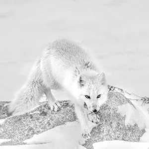 APAS Honor Mention e-certificate - Jing Li (China)  White Fox