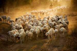 PhotoVivo Gold Medal - Yaohua Zeng (China)  Herd Back